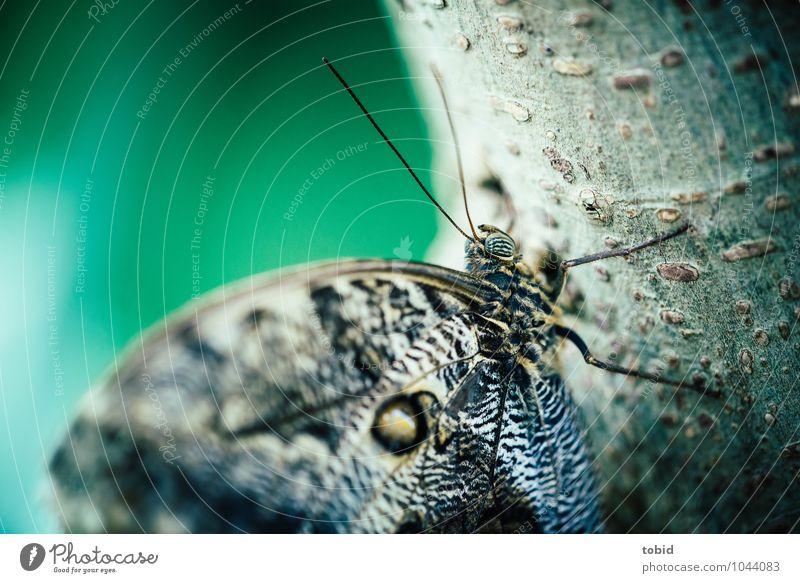 The banana butterfly Tree Tree trunk Tree bark Animal Butterfly Wing Pelt Feeler Eyes Legs 1 Sit Esthetic Elegant Small Near Colour photo Detail