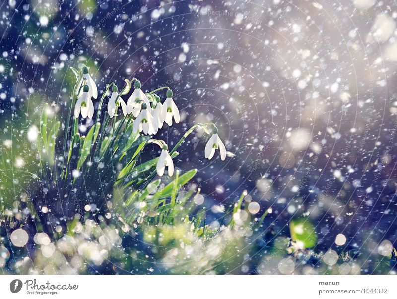 Nature Plant Flower Winter Cold Blossom Spring Garden Snowfall Ice Weather Beautiful weather Frost Spring fever Snowflake Spring flower