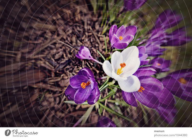 Nature White Flower Spring Blossom Natural Violet Spring fever Crocus Spring flower Spring flowering plant