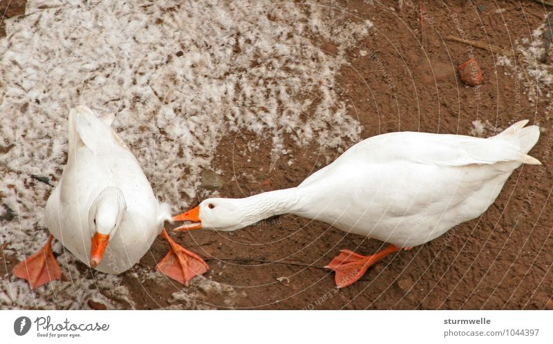 You stupid goose! Environment Nature Plant Winter Animal Farm animal Bird Goose Duck birds geese 2 Fight Argument Aggression Anger Colour photo Exterior shot