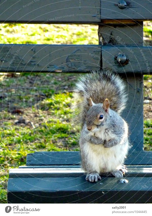 squatter Grass Park Animal Wild animal Squirrel 1 Observe To hold on To feed Sit Wait Friendliness Curiosity Cute Gray Life Bench Park bench Appetite Beg