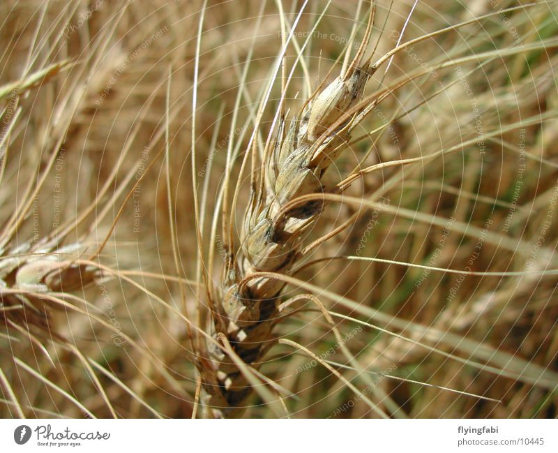 Nature Field Agriculture Grain Wheat