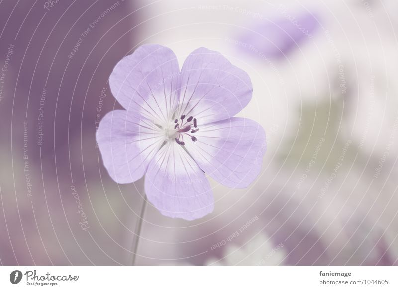 soft purple II Environment Nature Plant Spring Flower Blossom Garden Park Meadow Field Esthetic Fragrance Elegant Beautiful Romance Violet Delicate mauve Bright