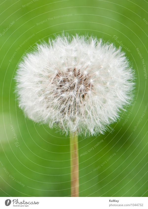 Nature Plant Green White Summer Environment Blossom Natural Bright Esthetic Blossoming Transience Round Many Near Dandelion