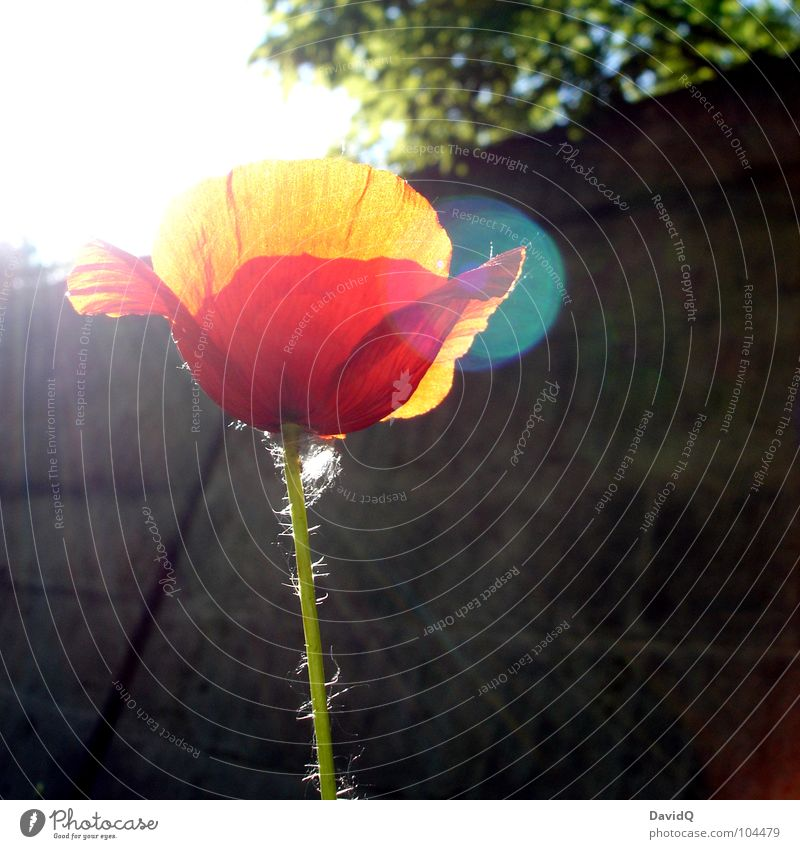 Flower Green Red Summer Blossom Orange Delicate Blossoming Poppy Beautiful weather Faded Blossom leave Beam of light Corn poppy Wayside