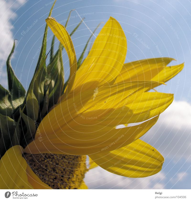 Sky White Flower Green Blue Summer Clouds Yellow Blossom Brown Lighting Field Thin Transience Long Blossoming