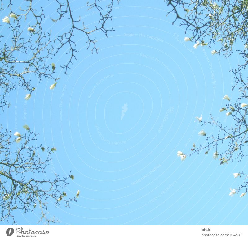 Sky White Blue Summer Above Spring Background picture Blossoming Flower Sky blue Twigs and branches Bordered Magnolia plants Spring day