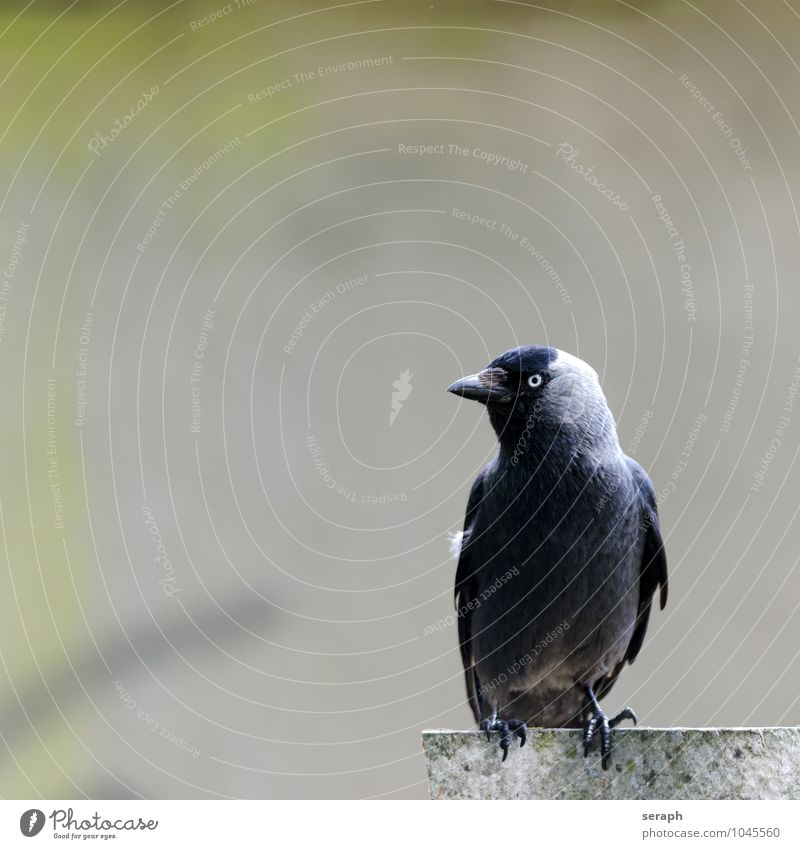 Jackdaw Animal Bird Wing Feather Raven birds Common Raven Crow Nature Sit Wall (barrier) Observe Resting Beak plumage Looking talon Eyes Ornithology Wild