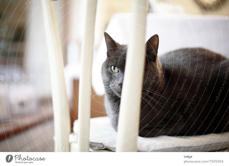 the cat is on the chair ! (for AlexAlex) Living or residing Chair Pet Cat Animal face Domestic cat 1 Crouch Sit Emotions Moody Safety (feeling of) Peaceful