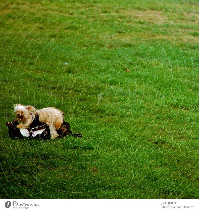 Green Animal Colour Meadow Playing Dog Friendship Small Lawn Mammal Effort Pet Loyalty Beat Mastiff Dogfight