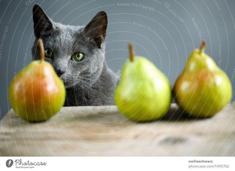 Cat and pears Food Fruit Pear Organic produce Vegetarian diet Animal Pet russian blue 1 Observe Fragrance Discover Illuminate Wait Elegant Fresh Natural