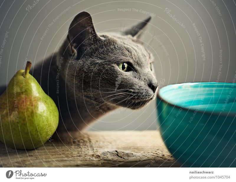 Cat and pear Food Fruit Pear Bowl Animal Pet Animal face russian blue 1 Observe Touch To enjoy Looking Elegant Cuddly Funny Natural Curiosity Cute Positive