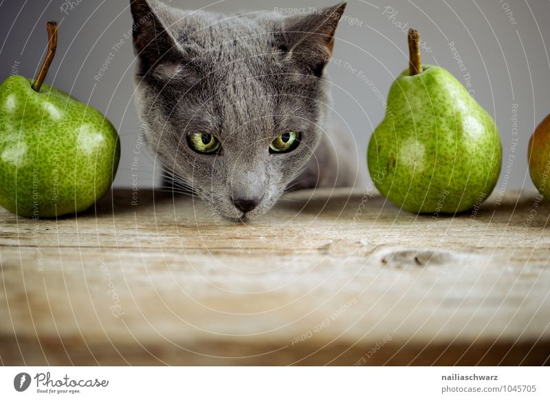 Cat and pears Food Fruit Pear Organic produce Vegetarian diet Diet Animal Pet Animal face russian blue 1 Wood Observe Touch Discover Looking Exceptional