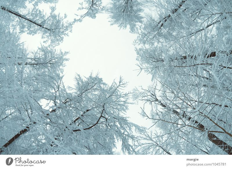 The view up into snowy tree tops Environment Nature Water Sky Winter Climate Weather Ice Frost Snow Snowfall Tree Tree trunk Branch Twigs and branches Forest