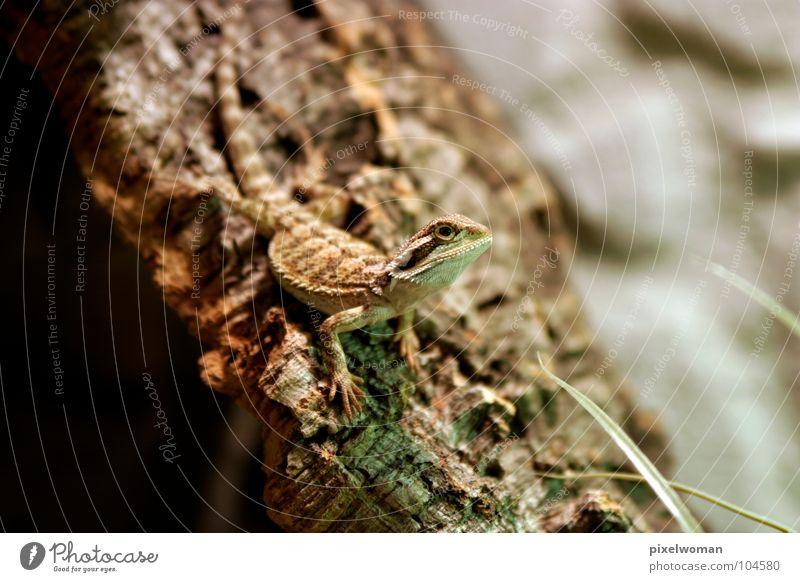 Green Animal Brown Small Thin Living thing Reptiles Tree bark Saurians Terrarium