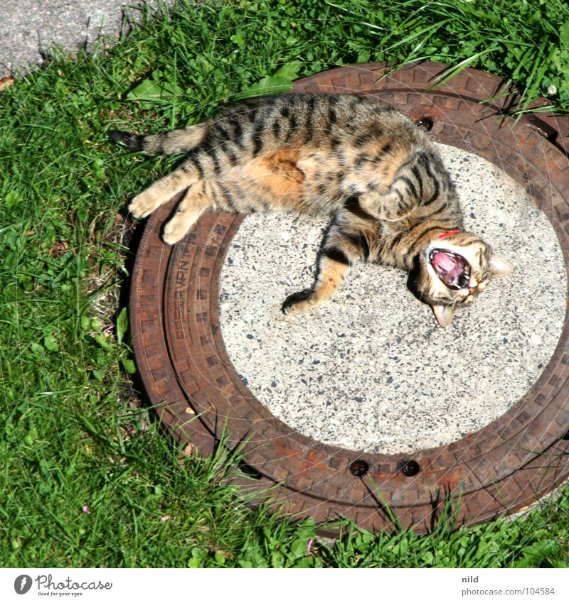 Cat Relaxation Grass Garden Springboard Dangerous Sleep Sweet Cute Lawn Scream Fatigue Sunbathing Striped Paw Mammal