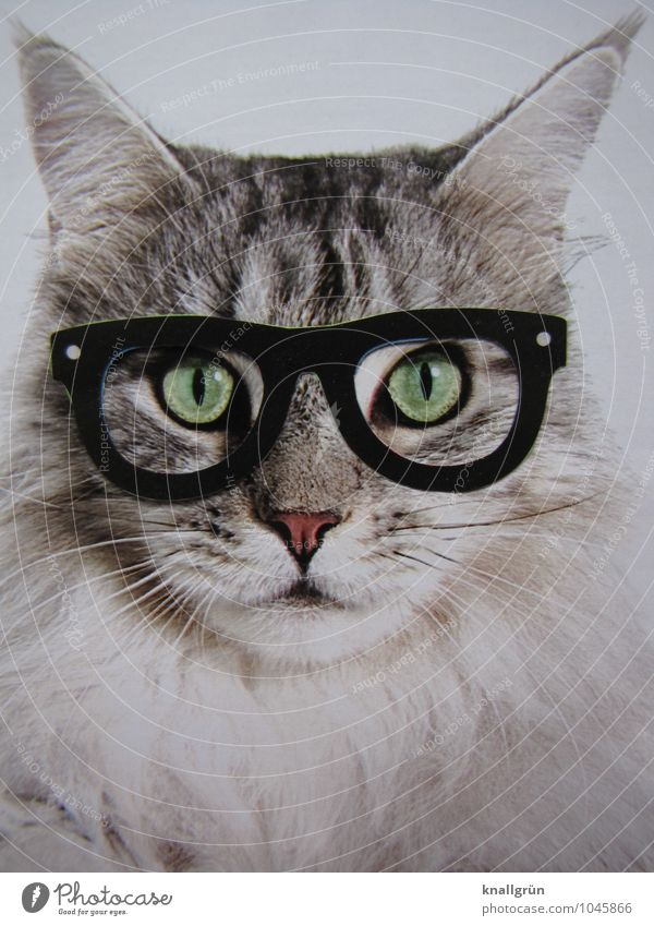 nerd Animal Pet Cat 1 Observe Communicate Looking Nerdy Smart Gray White Emotions Self-confident Uniqueness Creativity Whimsical Eyeglasses