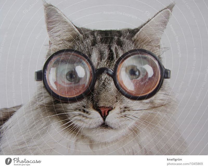I don't think those glasses suit me! Animal Pet Cat 1 Observe Communicate Looking Exceptional Uniqueness Gray Black White Emotions Bizarre Whimsical Eyeglasses