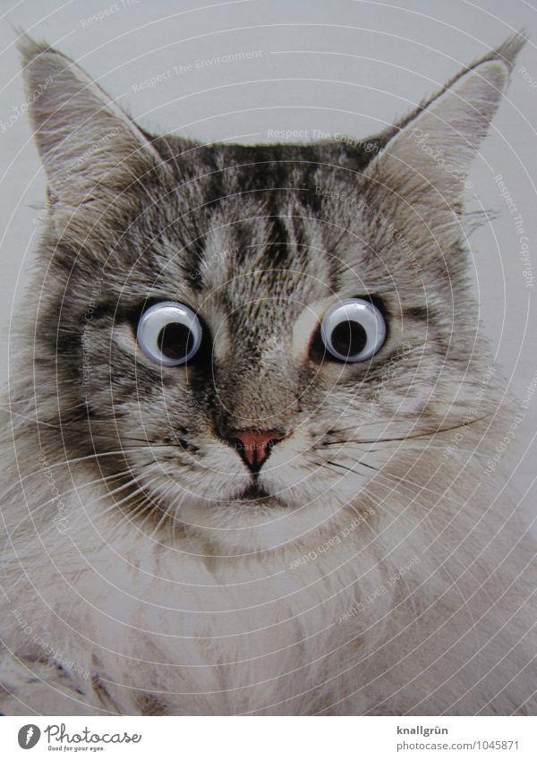 Cat White Animal Emotions Gray Observe Surprise Pet Expectation Gaze