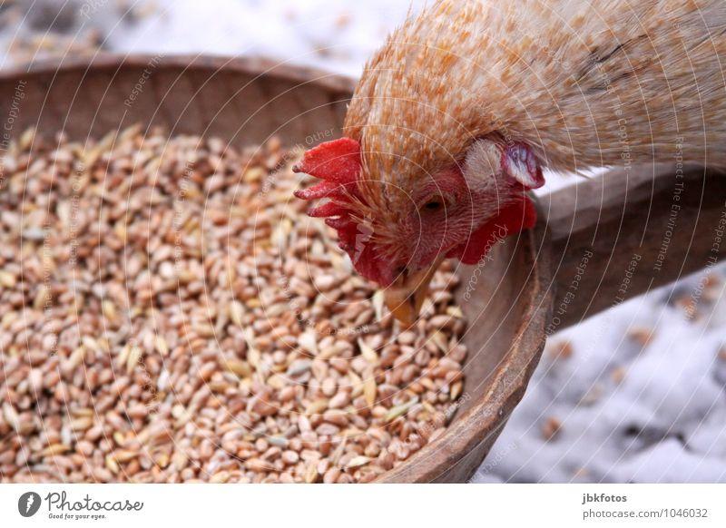 Beautiful Animal Feminine Happiness Esthetic Curiosity Hip & trendy Sustainability To feed Barn fowl Farm animal Peck