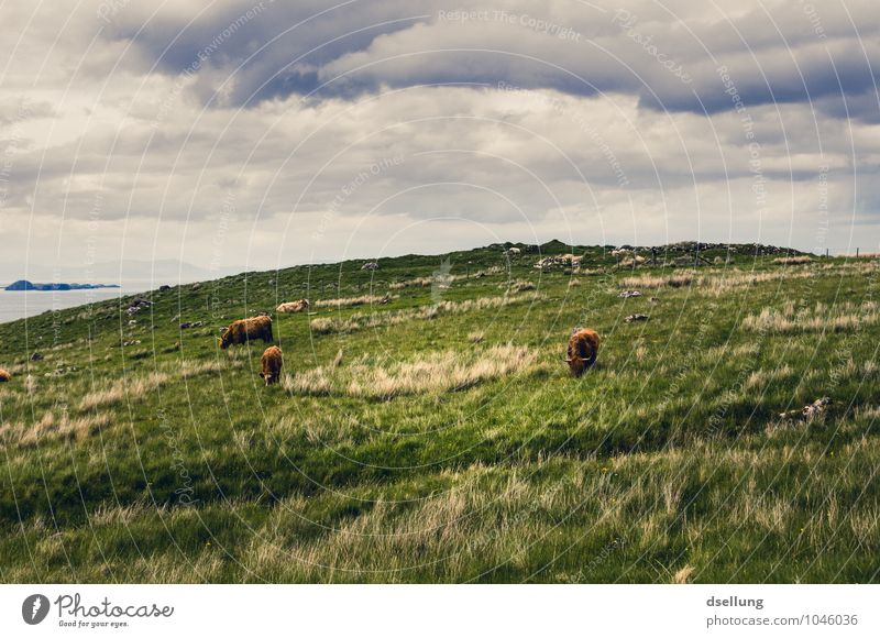 to let the soul dangle. Nature Landscape Sky Clouds Summer Beautiful weather Meadow Field Farm animal Highland cattle 3 Animal Group of animals Herd Relaxation