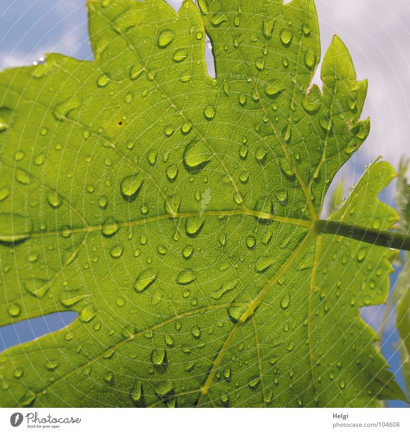 Close-up of a green vine leaf with raindrops Wet Rain Leaf Vine leaf Stalk Vessel Leaf green Green Clouds White Summer Growth Plant Macro (Extreme close-up)