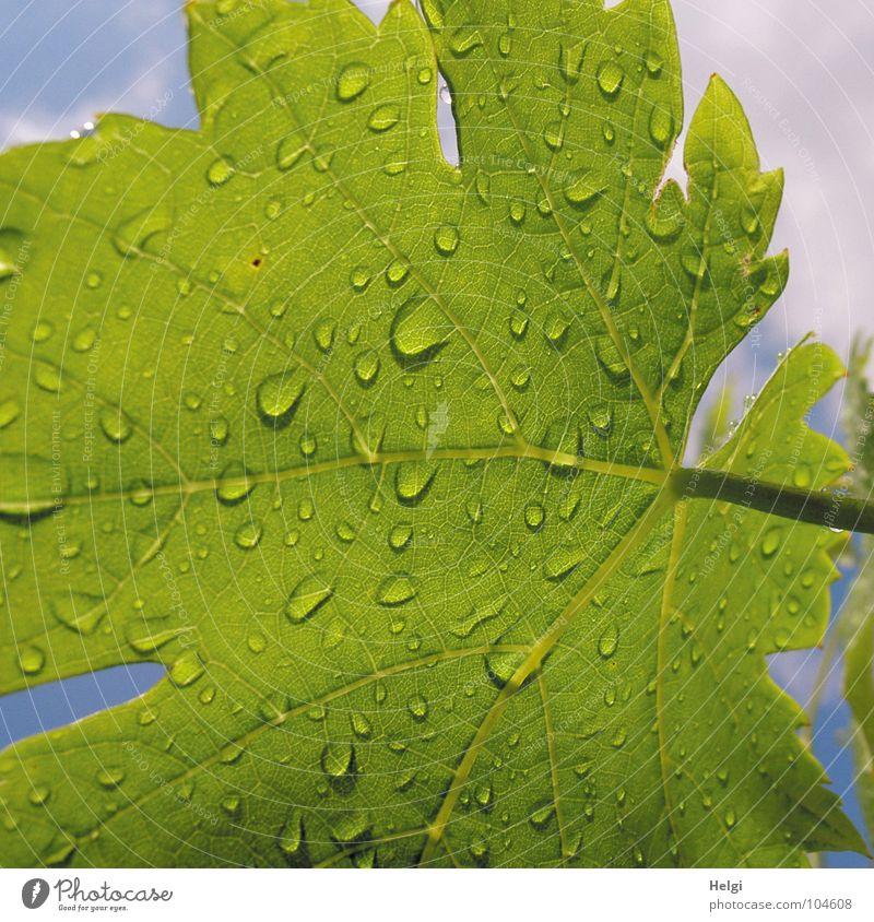 White Green Blue Plant Summer Leaf Clouds Garden Park Rain Drops of water Wet Growth Vine Stalk Vessel
