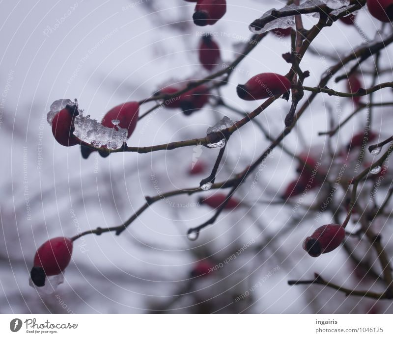 Sky Nature Plant Red Calm Winter Sadness Natural Gray Garden Moody Fruit Park Contentment Ice Gloomy