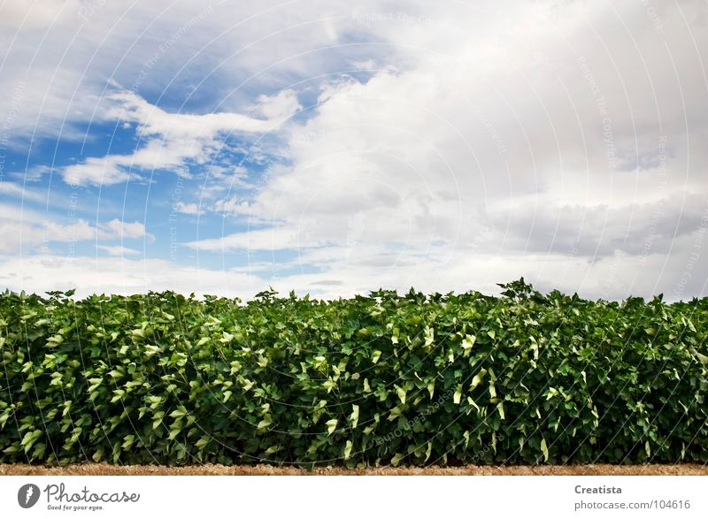 Green Leafy Crop Countries Sky Cumulus Background picture Nutrition crop Farm rural country market organic leaf grow harvest cloud symetry agriculture horizon
