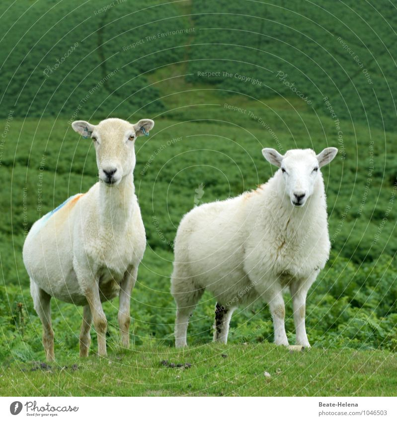 Nature Plant Green White Summer Landscape Animal Funny Natural Together Elegant Perspective Attachment Summer vacation Lovers Sheep