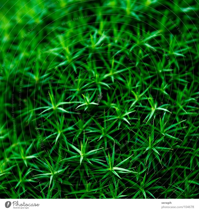 Nature Plant Green Background picture Small Growth Star (Symbol) Soft Stalk Moss Botany Nest Lichen Woodground Spore