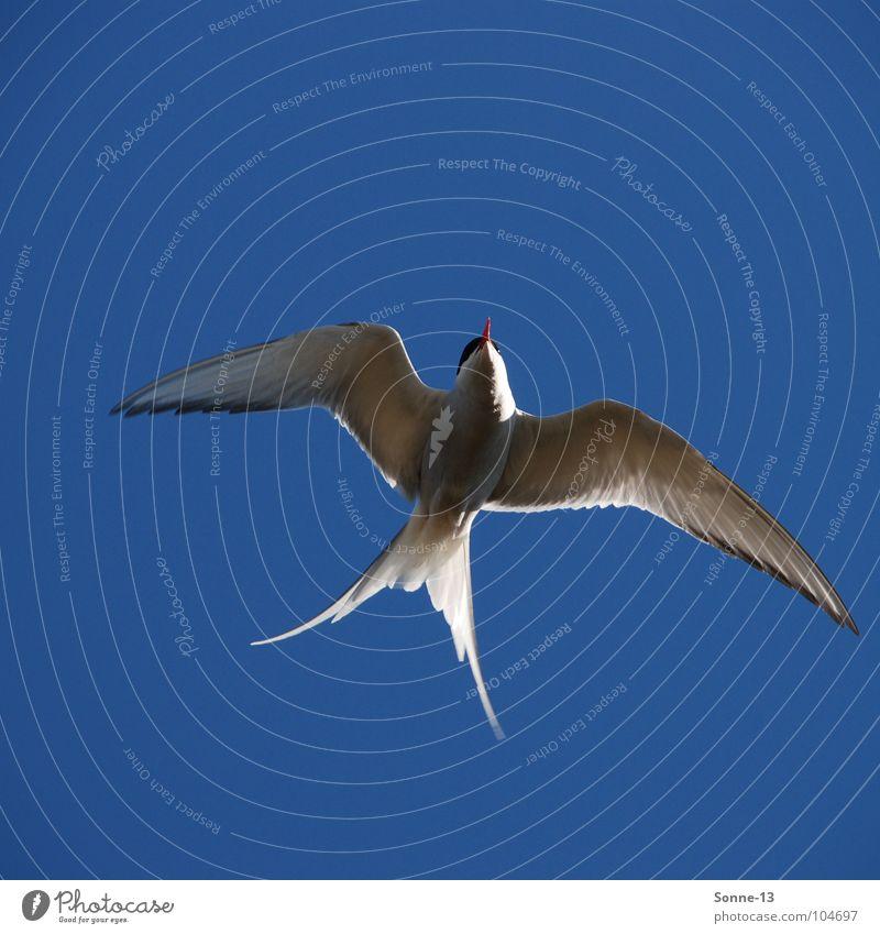 graceful I Arctic tern Bird Air Animal Feather Aviation Sky Graceful Blue Wing