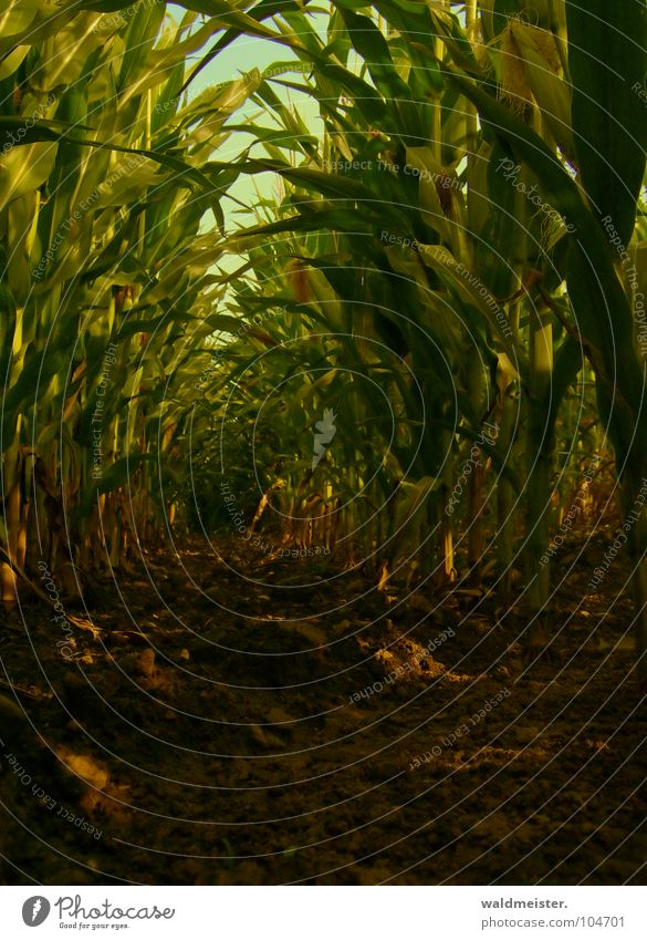 Maize field in the evening Field Agriculture Crops Leaf Earth Shadow Green Brown Bio-fuel Renewable raw materials bioethanol