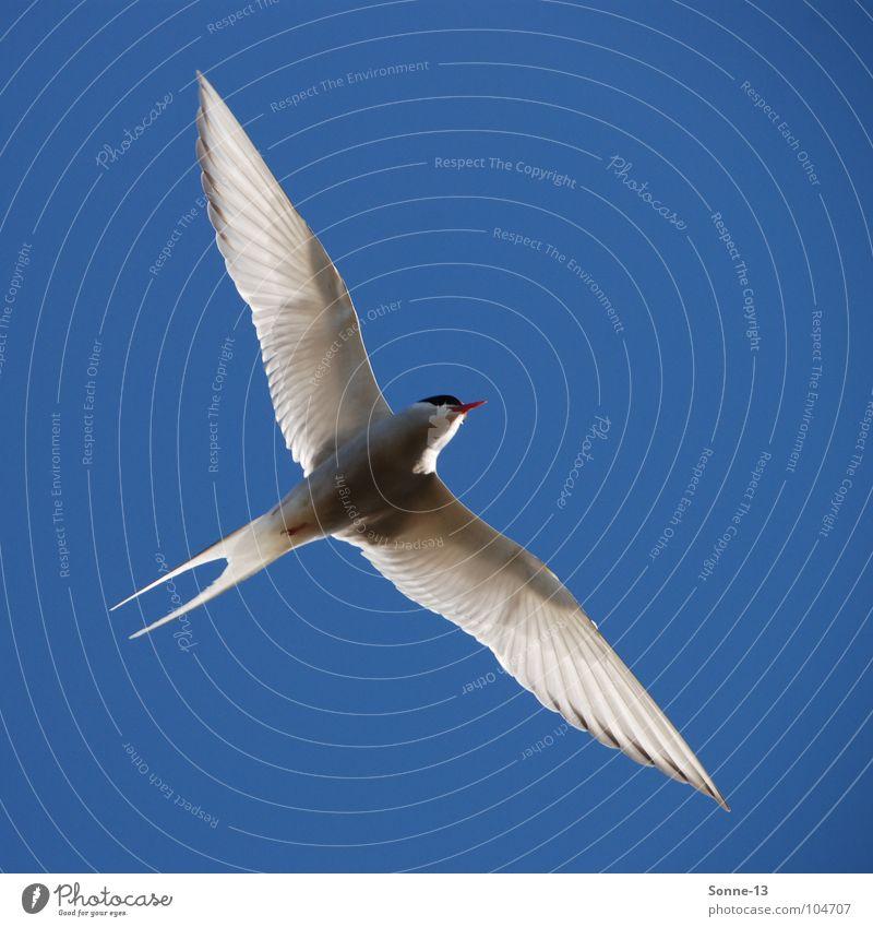 graceful II Arctic tern Bird Air Aviation Wing Freedom Sky Blue Graceful