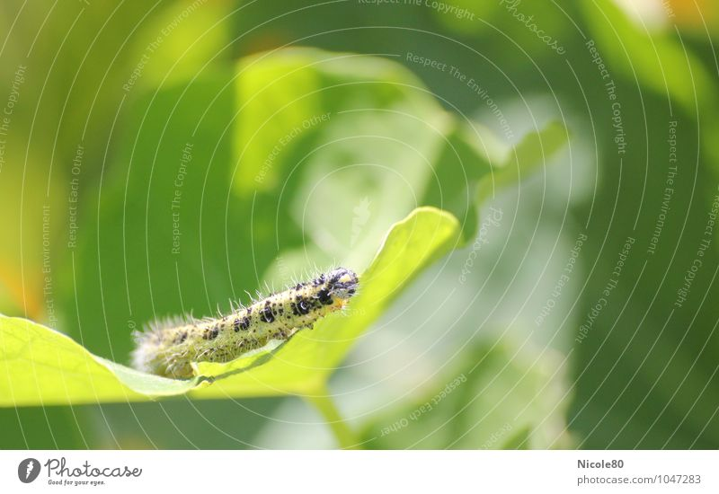 The little caterpillar Nimmersatt Animal Green Caterpillar Garden Insect Leaf Destructive weed Colour photo Exterior shot Deserted Copy Space right