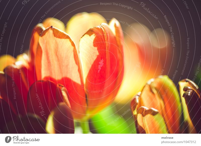 backlight Lifestyle Style Valentine's Day Mother's Day Spring Beautiful weather Flower Tulip Leaf Blossom Spring flowering plant bouquet of tulips Stalk Blur