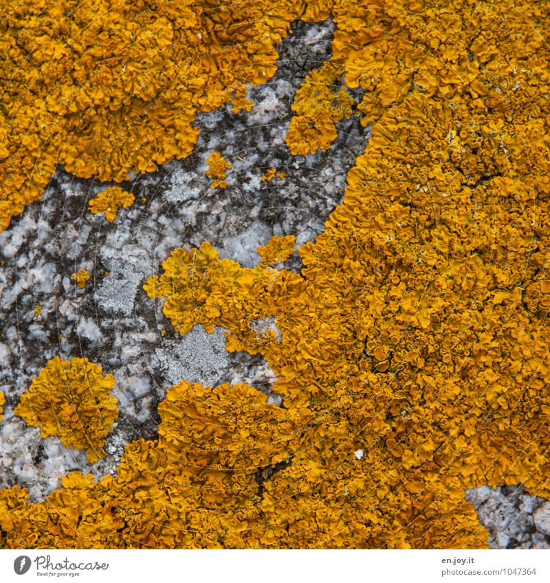 map weaving Allergy Nature Plant Lichen Growth Yellow Environment Stone Rock Wall (barrier) Wall plant mycobionts Mushroom Colour photo Exterior shot Close-up