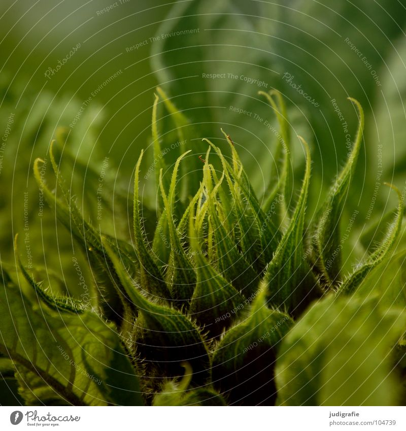 Nature Flower Green Plant Summer Blossom Warmth Field Environment Fresh Growth Physics Sunflower Bud Crunchy Flourish