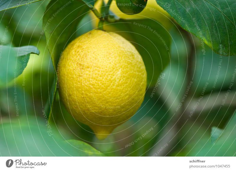 vitamin hand grenade Food Fruit Nature Plant Bushes Foliage plant Agricultural crop Exotic Sour Yellow Green Lemon Lemon juice Lemon tree Lemon yellow