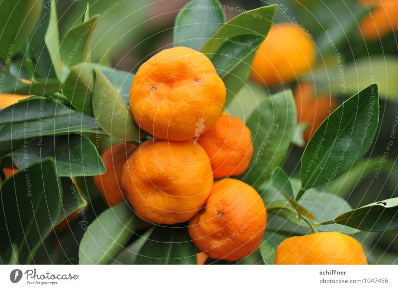 vitamin waves Orange Nutrition Organic produce Slow food Plant Bushes Foliage plant Agricultural crop Pot plant Exotic Green Tangerine Tropical fruits