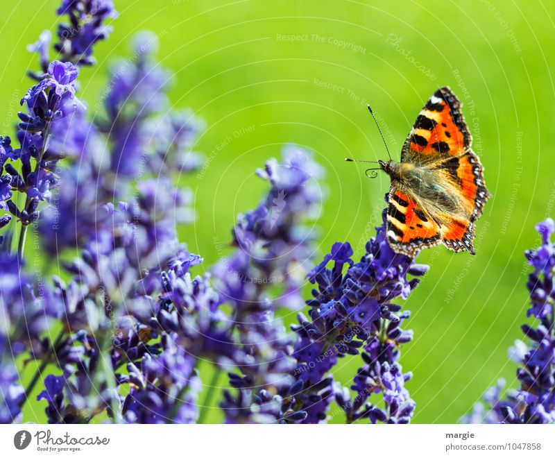 A butterfly on lavender flowers Environment Nature Plant Spring Summer Flower Grass Blossom Lavender Meadow Garden Animal Butterfly 1 Blossoming Flying