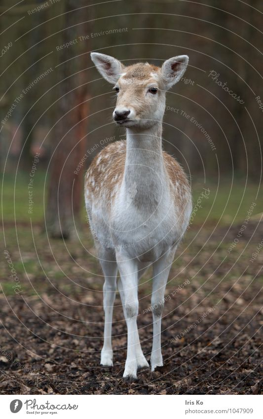 Dama Nature Animal Forest Wild animal Zoo Fallow deer 1 Observe Looking Natural Feminine Brown Love of animals Watchfulness Innocent Hind Colour photo