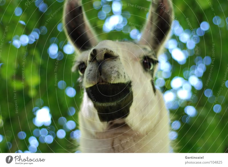 D. llama Animal Tree Farm animal Animal face Pelt Zoo Funny Nostrils Mammal Llama Muzzle Neck Eyes Ear Colour photo Exterior shot Worm's-eye view Deserted Day