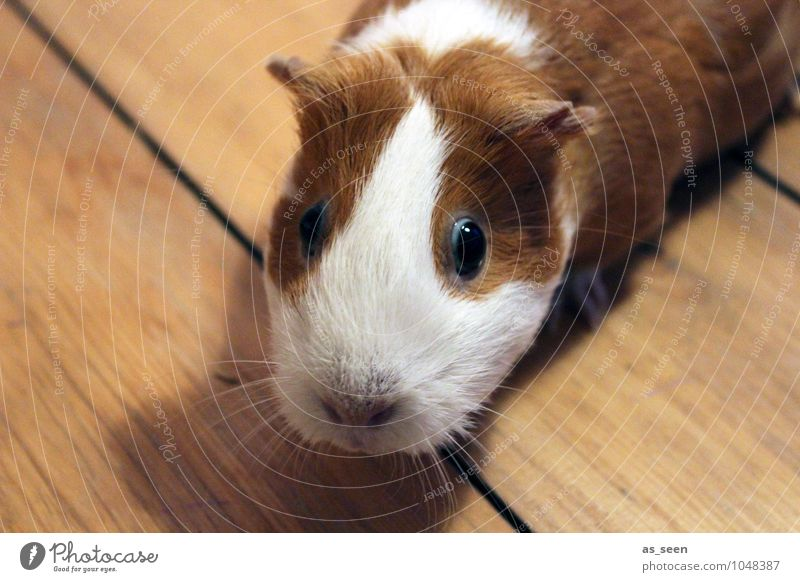 inquisitiveness Animal Pet Animal face Zoo Petting zoo Guinea pig smooth hair Pelt Muzzle Eyes Whisker 1 Looking Brash Bright Small Funny Curiosity Cute Soft