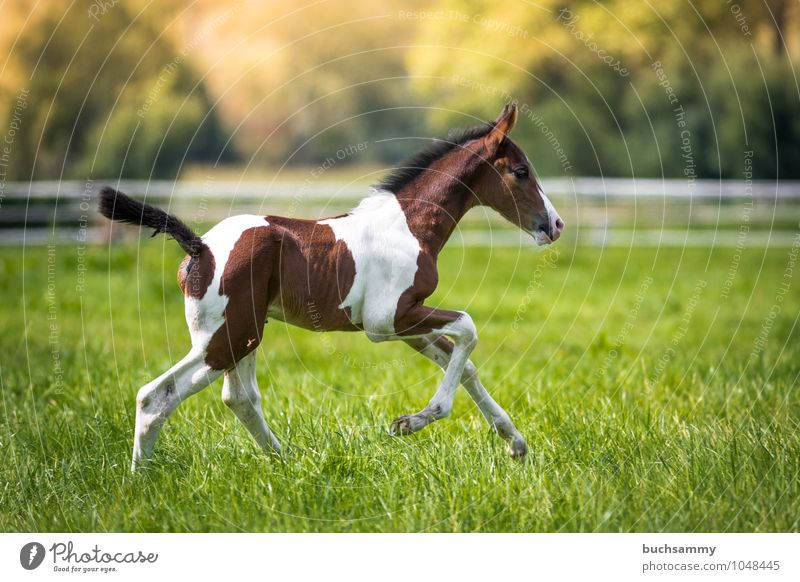 Green White Animal Meadow Grass Sports Brown Leisure and hobbies Speed Horse Pasture Fence Farm animal Ride Foal