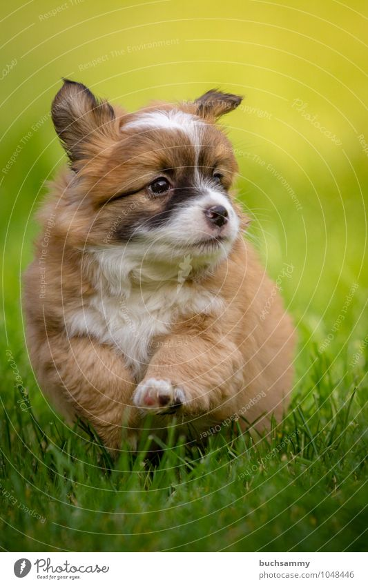 Curious puppy Animal Grass Meadow Pet Dog 1 Brown Green Black White youthful Crossbreed sunshine Puppy Action Running su¨ss trollish Colour photo Exterior shot