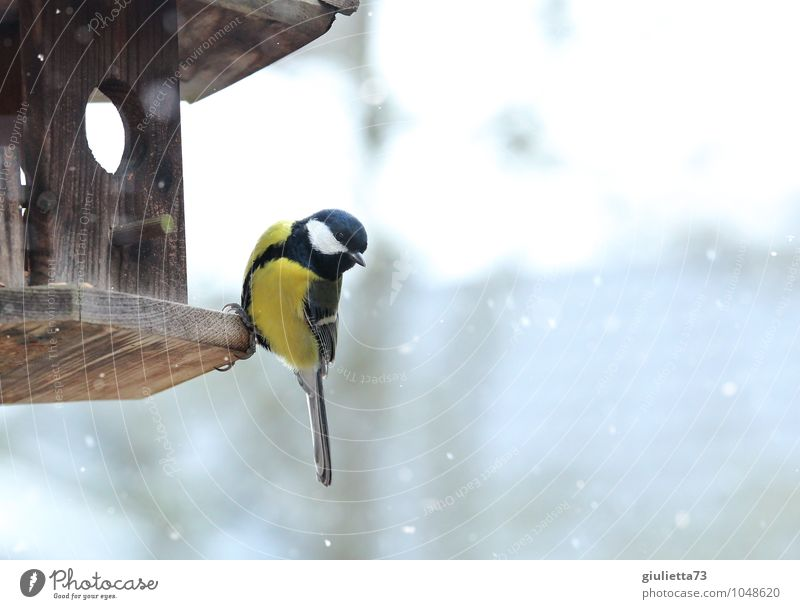 Great tit in winter Animal Wild animal Bird Tit mouse Songbirds 1 Observe To feed Freeze Feeding Looking Sit Esthetic Beautiful Cold Cute Yellow Black White