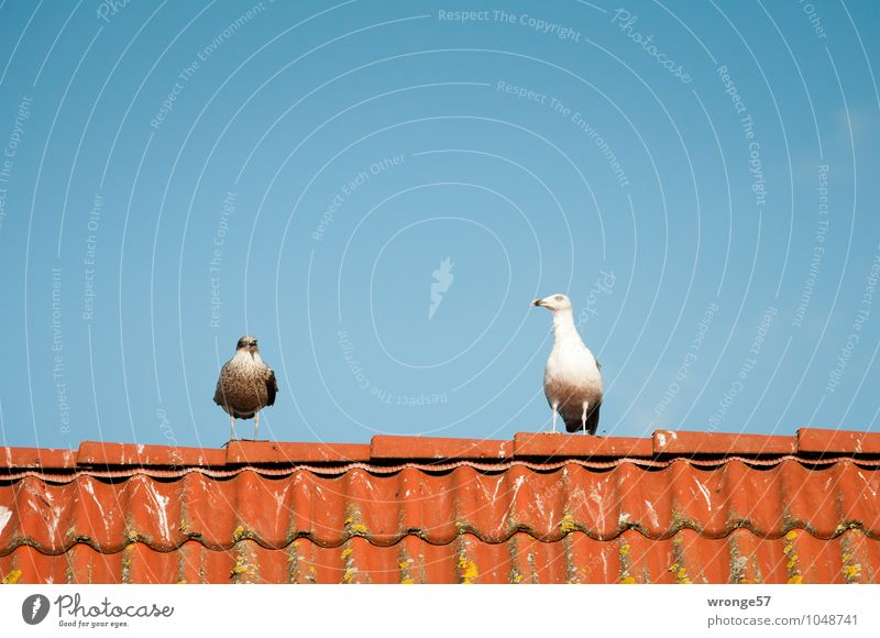 Blue White Red Animal Bird Wild animal Roof Curiosity Cloudless sky Animalistic Watchfulness Seagull Interest Blue sky Nerviness Brick red