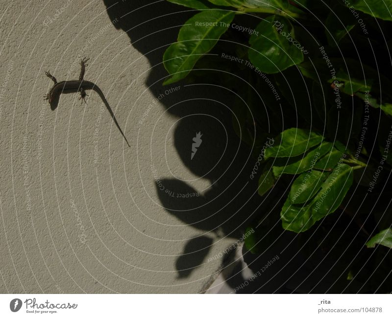 lizard Lizards Leaf Reptiles Animal Green Italy Caorle Summer Wall (building) Disgust shadow Looking Nature