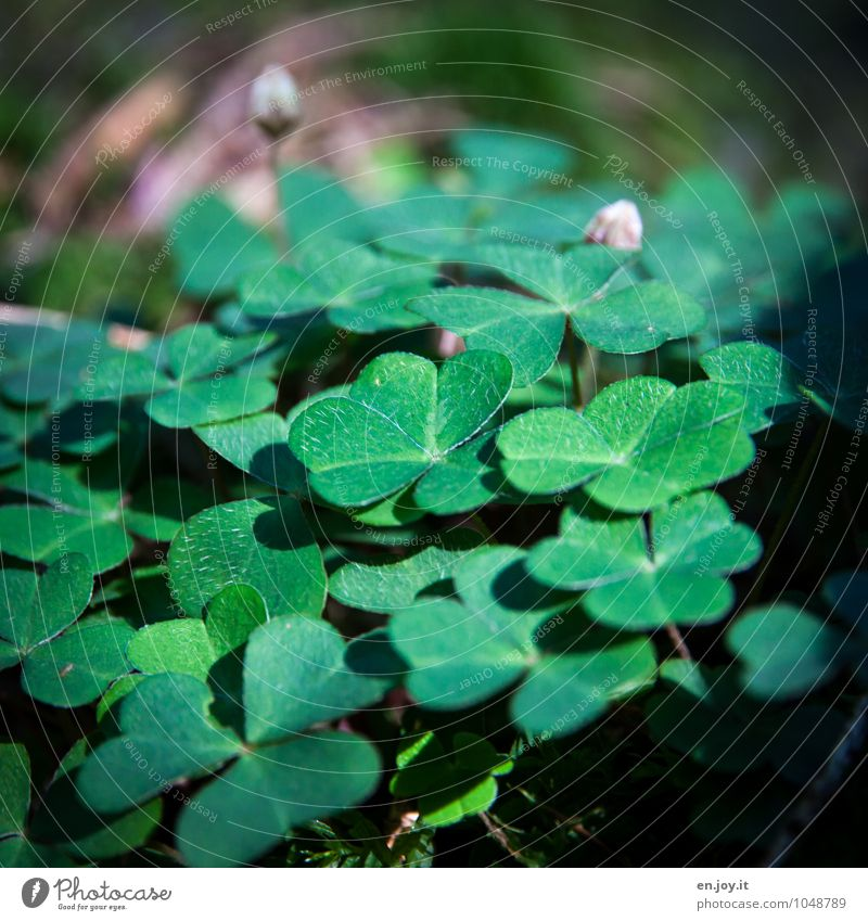 wood clover Happy Environment Nature Landscape Plant Spring Summer Leaf Blossom Foliage plant Agricultural crop Wild plant Clover Sorrel Common wood sorrel Bud